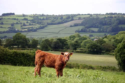 Calf In Meadow Nearby The Holiday Cottage